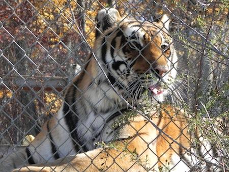 tiger up close